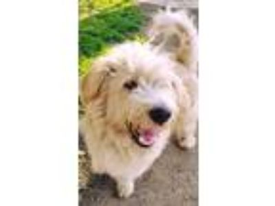 Adopt Joey a Tan/Yellow/Fawn Goldendoodle / Mixed Breed (Medium) / Mixed dog in