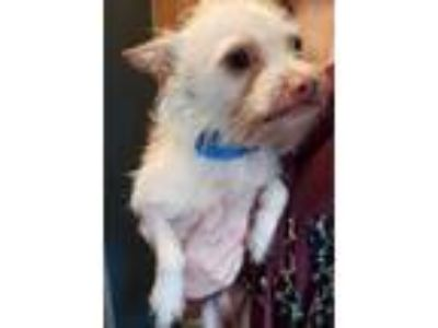 Adopt Opie a Tan/Yellow/Fawn Terrier (Unknown Type, Small) / Mixed dog in