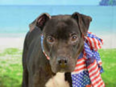 Adopt LOLA a Black - with White American Staffordshire Terrier / Mixed dog in