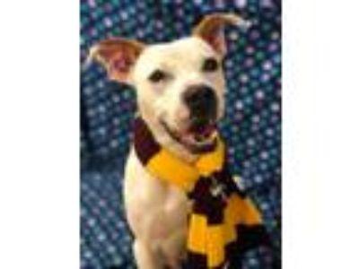 Adopt Robbie a Labrador Retriever, Pit Bull Terrier