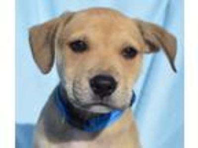 Adopt Hudson a Tan/Yellow/Fawn - with Black Shepherd (Unknown Type) / Mixed