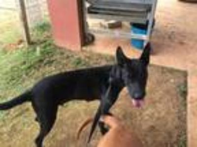 Adopt Gracie a Black Shepherd (Unknown Type) / Mixed dog in Fairfax Station