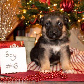 German Shepherd Dog PUPPY FOR SALE ADN-106997 - AKC German Shepherd Puppy