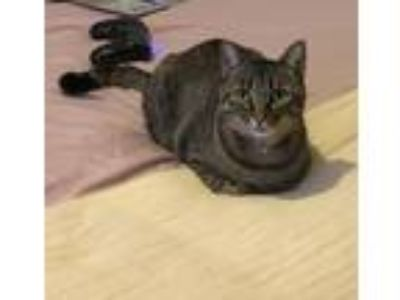 Adopt Meeko a Brown Tabby Domestic Shorthair / Mixed cat in Antioch