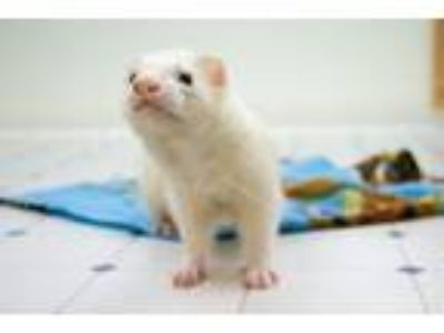 Adopt Ned and Nibbler a Ferret