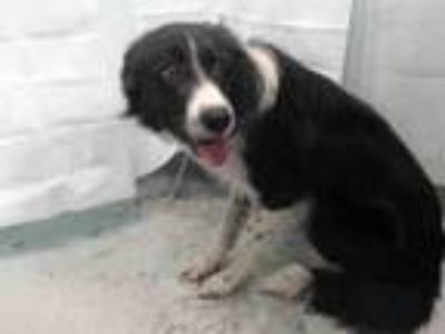 Adopt MIA a Border Collie