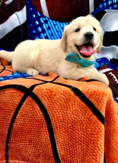 Golden Retriever PUPPY FOR SALE ADN-92643 - Take home Ricky Today