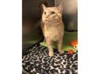 Adopt Austin a Domestic Short Hair