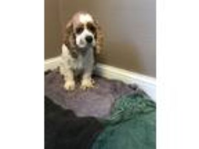 Adopt Please don t share - millie a Tan/Yellow/Fawn - with White Cocker
