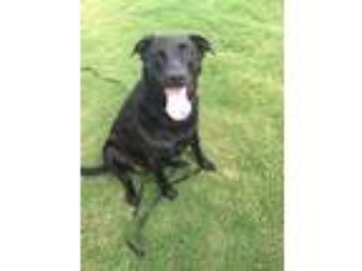 Adopt Sophie a Black Labrador Retriever / Retriever (Unknown Type) / Mixed dog