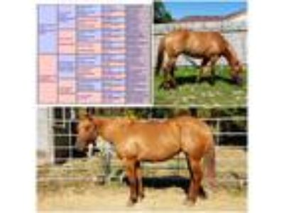 2014 Ranch bred red dun mare and colt