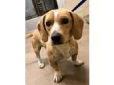 Adopt Nathan* a Tan/Yellow/Fawn Basset Hound / Mixed dog in Anderson