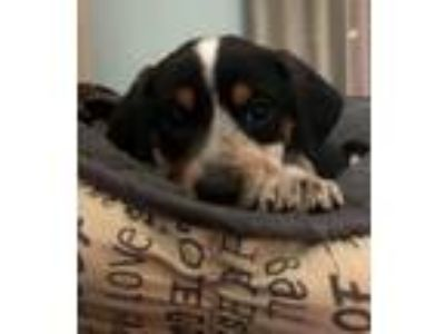 Adopt Margot a Tricolor (Tan/Brown & Black & White) Cattle Dog / Treeing Walker