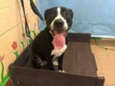 Adopt SHADOW a Black - with White Labrador Retriever / Border Collie / Mixed dog
