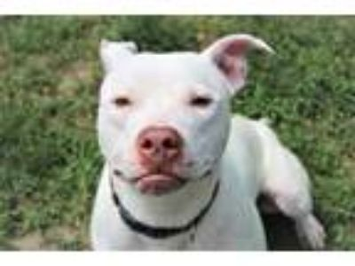 Adopt Salami a Pit Bull Terrier, Mixed Breed