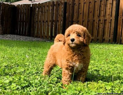 Adorable outstanding Cavapoo puppies Available