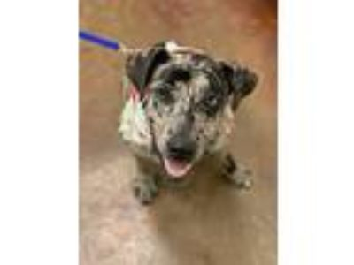 Adopt Spot a Merle Catahoula Leopard Dog / Boxer / Mixed dog in Groton