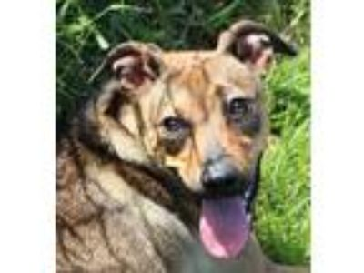 Adopt Omega a German Shepherd Dog / Bloodhound / Mixed dog in Beebe