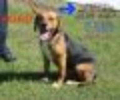 Ford Beagle - Labrador Retriever Dog