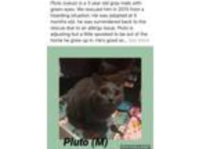 Adopt Pluto a Gray or Blue Domestic Shorthair (short coat) cat in Brentwood
