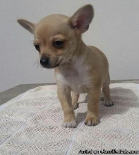 Pure bred male chihuahua puppies
