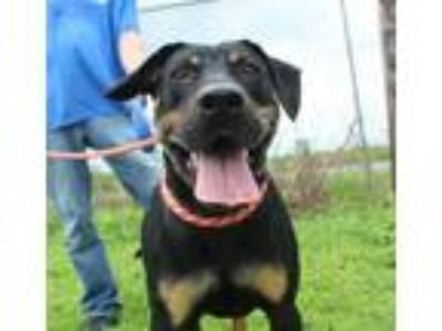 Adopt Armstrong a Black - with Tan, Yellow or Fawn Hound (Unknown Type) / Mixed
