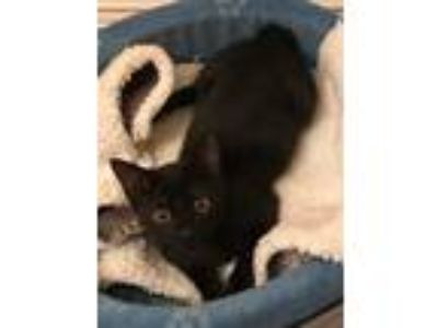 Adopt Codie a All Black Domestic Shorthair / Domestic Shorthair / Mixed cat in