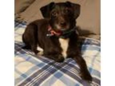 Adopt Jimbo a Black - with White Terrier (Unknown Type, Medium) / Mixed dog in