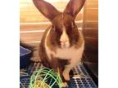 Adopt Sweetie a Cinnamon Dutch / Mixed (short coat) rabbit in City of Industry