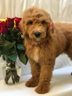Goldendoodle PUPPY FOR SALE ADN-77334 - Grace F1b Standard Goldendoodle
