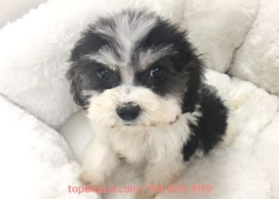 Shih-Poo PUPPY FOR SALE ADN-78652 - Shipoo female Cherry