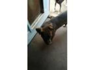 Adopt Ivy a Brown/Chocolate - with White Pit Bull Terrier / Mixed dog in