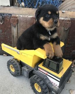 capable Rottweiler Puppies