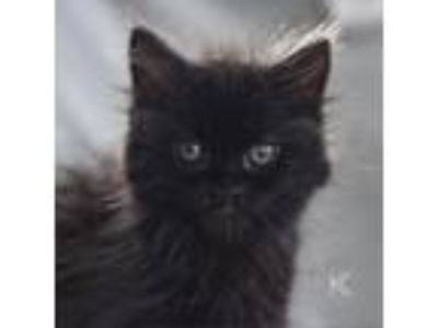 Adopt Coco a All Black Domestic Longhair cat in St. Paul, MN (25337494)