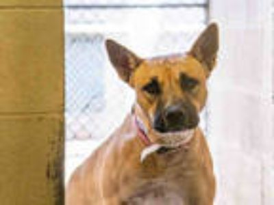Adopt a Tan/Yellow/Fawn American Pit Bull Terrier / German Shepherd Dog / Mixed