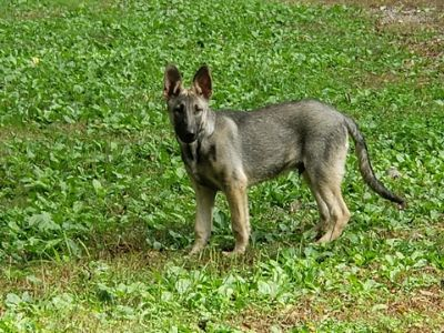German Shepherd Dog PUPPY FOR SALE ADN-101428 - German Shepherd Male pups