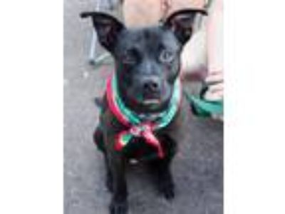 Adopt Astro a Black Boxer / Terrier (Unknown Type, Medium) / Mixed dog in