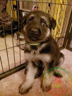 German Shepherd Dog PUPPY FOR SALE ADN-104347 - AKC Champion Bloodlines Male GSD Puppy