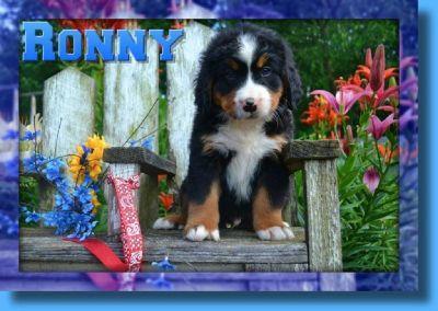 Ronny Male Bernese Mountain Dog AKC