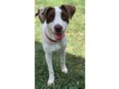 Adopt Zoey a Brown/Chocolate - with White Terrier (Unknown Type