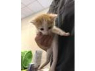 Adopt Chance* a White Domestic Shorthair / Domestic Shorthair / Mixed cat in
