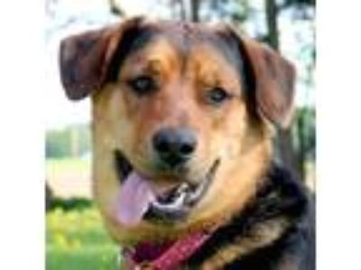 Adopt Bucky a Black - with Tan, Yellow or Fawn Shepherd (Unknown Type) / Mixed