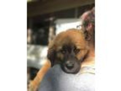 Adopt Chewy a Golden Retriever / Mixed dog in FREEPORT, FL (25650440)