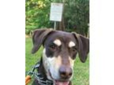 Adopt Layla a Brown/Chocolate - with Tan Catahoula Leopard Dog / Doberman