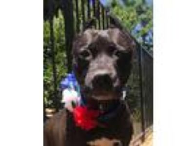 Adopt Braxton a Black American Pit Bull Terrier / Mixed dog in Redlands