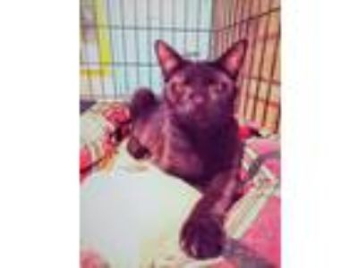 Adopt Bluberry a Domestic Short Hair