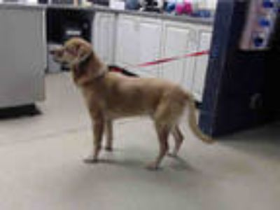 Adopt PELUCHO a Tan/Yellow/Fawn - with Black Labrador Retriever / Mixed dog in