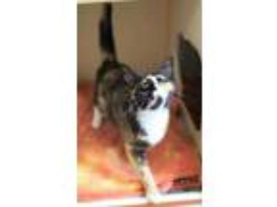 Adopt Emmy a All Black Domestic Shorthair / Domestic Shorthair / Mixed cat in