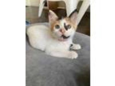 Adopt Reese a White Domestic Shorthair / Domestic Shorthair / Mixed cat in