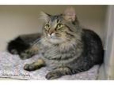 Adopt Julio a Tiger Striped Domestic Longhair (long coat) cat in East Hartford